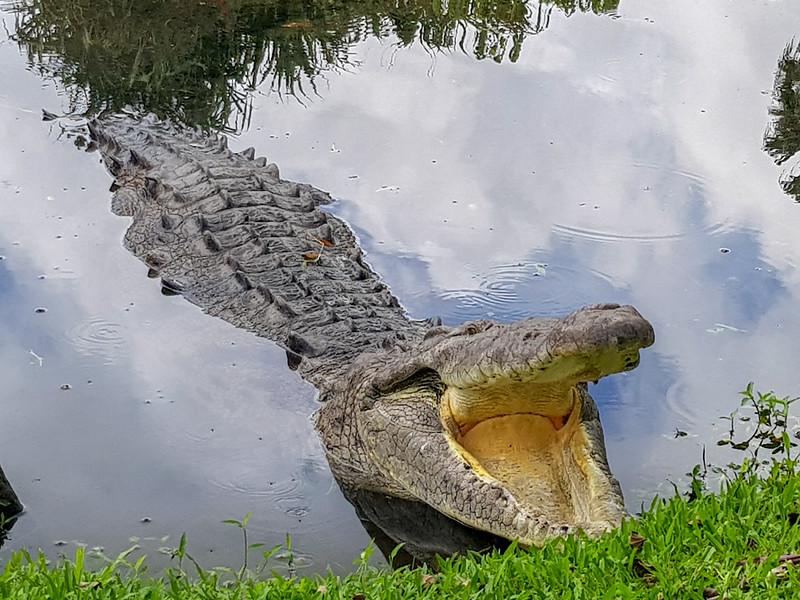 Toothless Crocodile