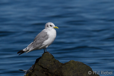 Black-legged Kittiwake (non-breeding adult)