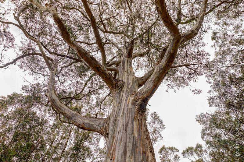 Grand Eucalyptus