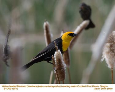 YellowHeadedBlackbirdsM19512.jpg