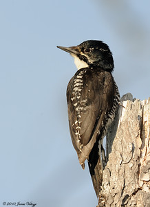 Three-toed Woodpecker, Picoides tridactylus