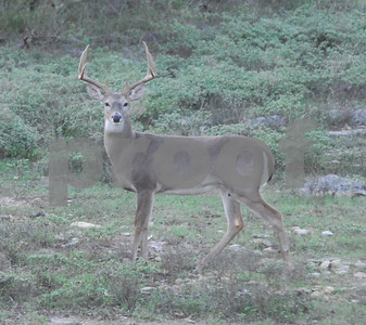 outdoor-big-buck-1016