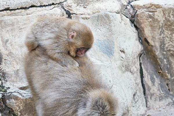 Snow Monkey Babies Riding Mom Japan 2019