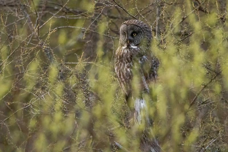 Great Gray Owl McDavitt Road Things that Go Buzz, Croak, Hoot & Bump in the Night Sax-Zim Bog MN  IMGC6738.jpg