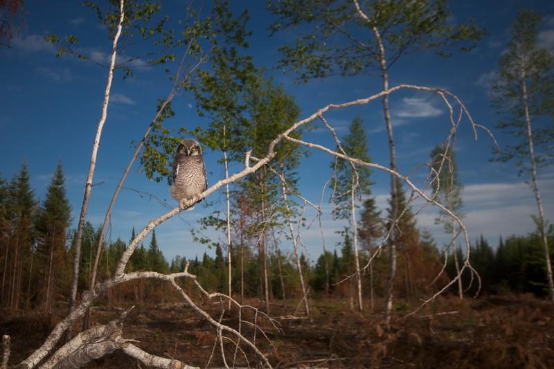 Northern Hawk Owl baby juvenile Owl Ave Sax-Zim Bog MN IMG_1072.jpg