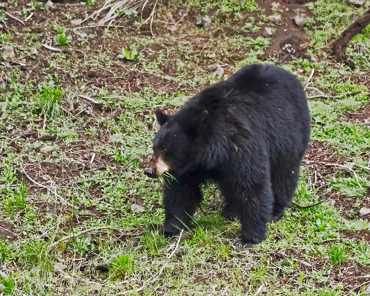 Just out of hibernation eating grass as Black Bears do.