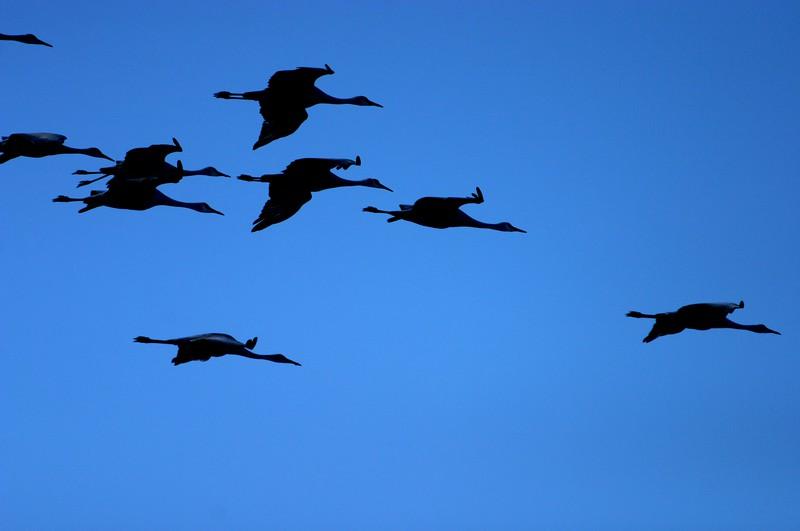 Sandhill Cranes flight blue Sick Dog Ranch TX 003_A04_1.jpg