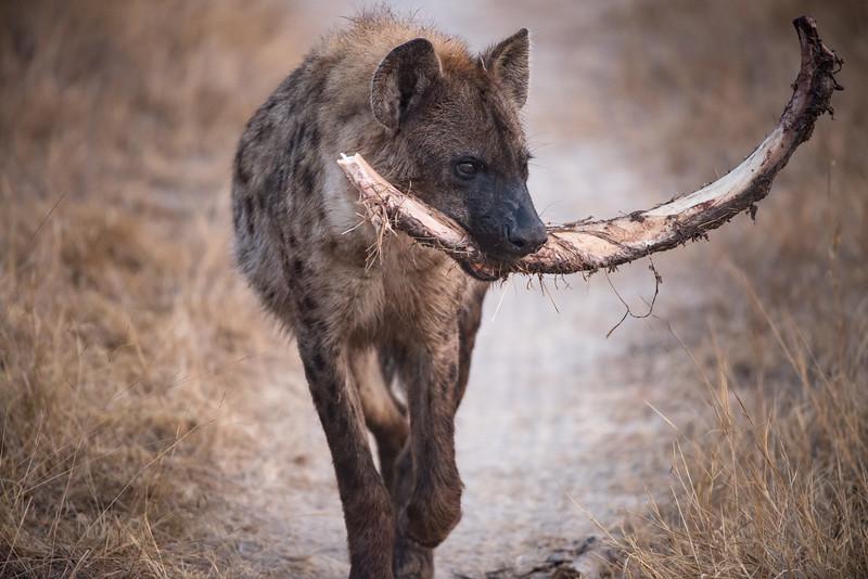 Hyena With Rhino Rib
