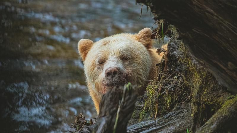 White Bear at Riordan Creek September 2019-7.jpg