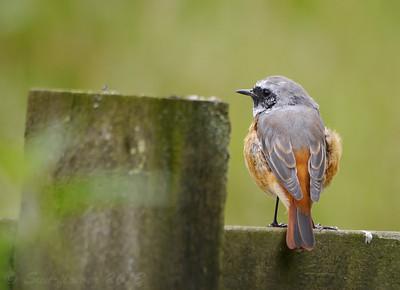 Redstarts (Wales 2013)