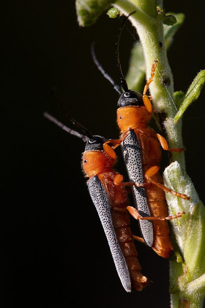 Silmiksikud paaritumas. Oberea oculata