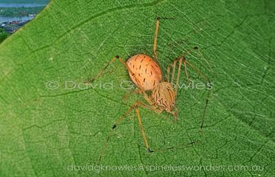 New Guinea Spiders Scytodidae (Spitting Spiders)