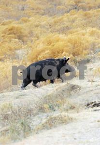 ranchers-conversation-raises-new-concerns-about-wild-pig-bait