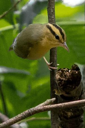 Worm-eating Warblers