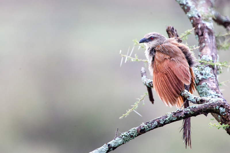 Serenegeti_12_203_White_browed_Coucal_1.jpg