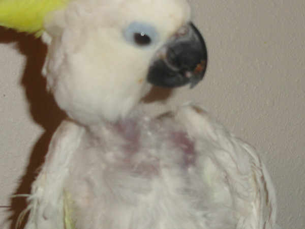 "Our Rescued Sulfur Crested Cockatoo "" Chickie Baby"" aka Ouch [ GRAPHIC CONTENT]"