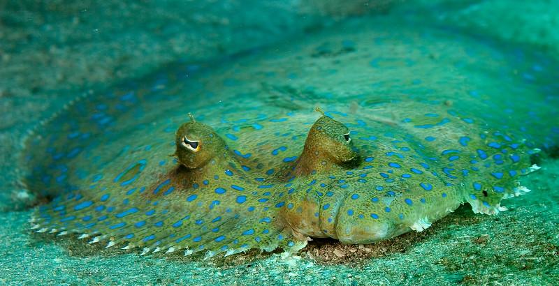 Face-to-face with a peacock flounder. Utila, Honduras.
