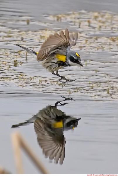 Paruline à croupion jaune et son reflet