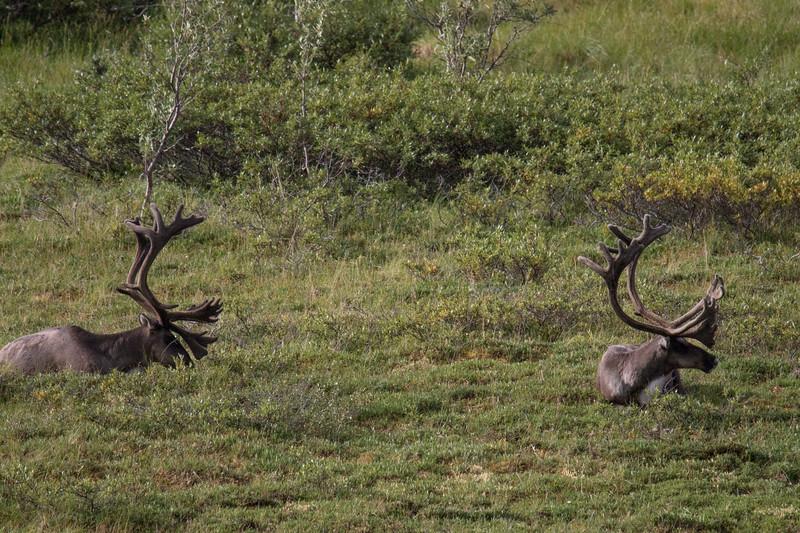 Denali N.P. Caribou 2019-7.jpg