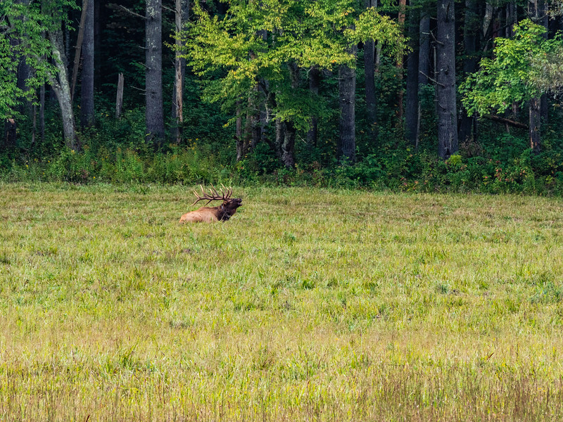 A bull elk lays down and bugles in the tall grass in a field in Cataloochee, Great Smoky Mountains National Park, September 23, 2018. (Joseph Forzano / Deep Creek Films)