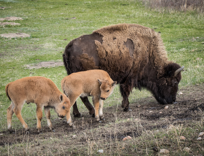 Bison with Two Newborn Calves