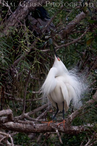 Snowy Egret male flaunting it Newark, California 1304N-SE10
