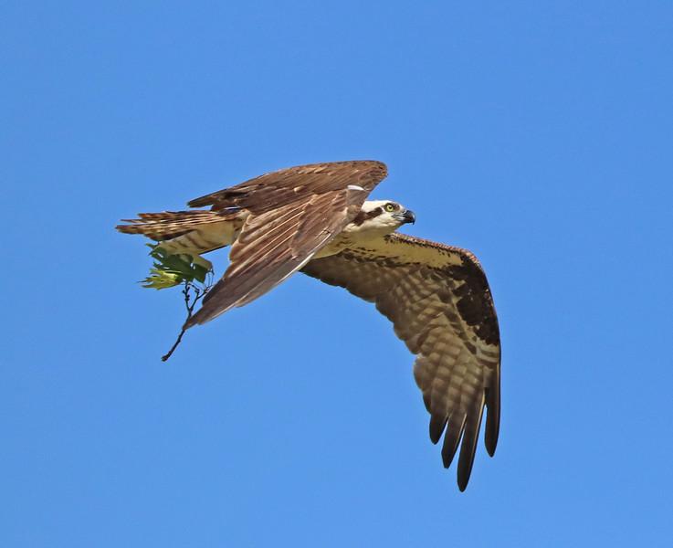 osprey 600.jpg