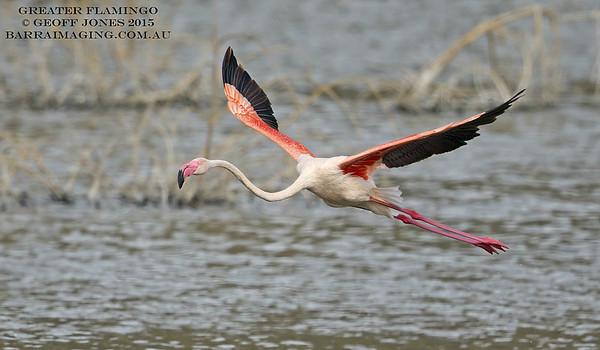 Flamingos Family Phoenicopteridae