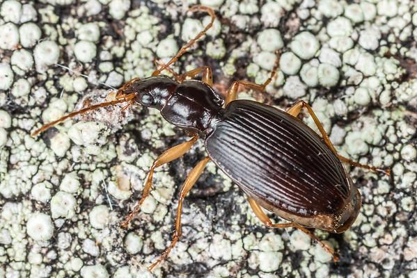 Ctenognathus littorellus