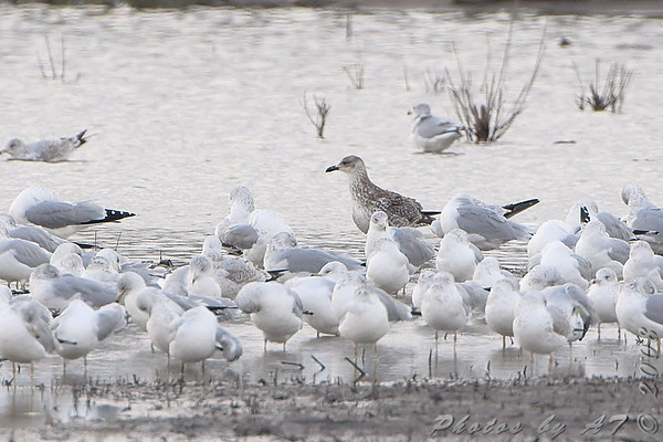 2008-11-13 Riverlands Migratory Bird Sanctuary