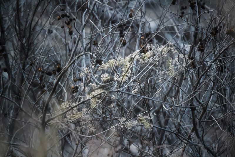 12.2.17 - Blackburn Creek Fish Nursery: Song Sparrow Hide-n-Seek
