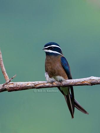 Hemiprocnidae - Treeswifts