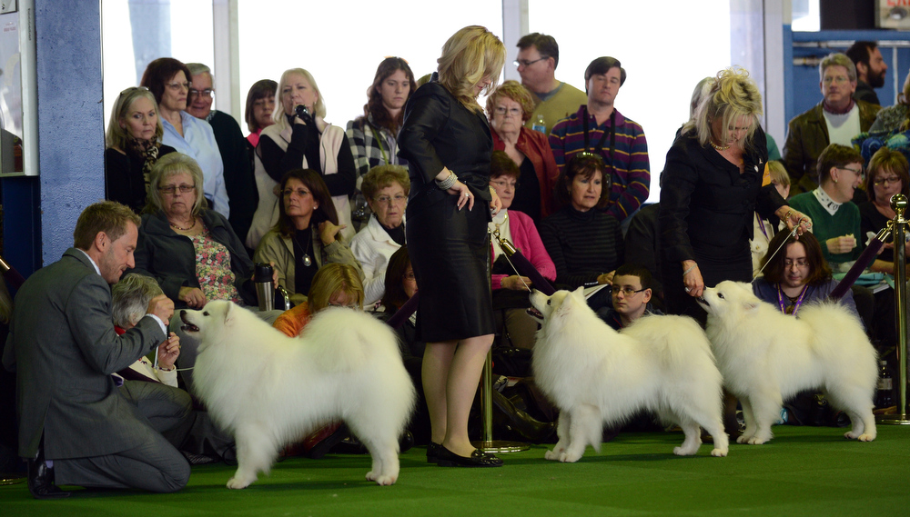 Description of . American Eskimo Dog with their handlers during judging at the Westminster Kennel Club Dog Show February 11, 2013 in New York. STAN HONDA/AFP/Getty Images