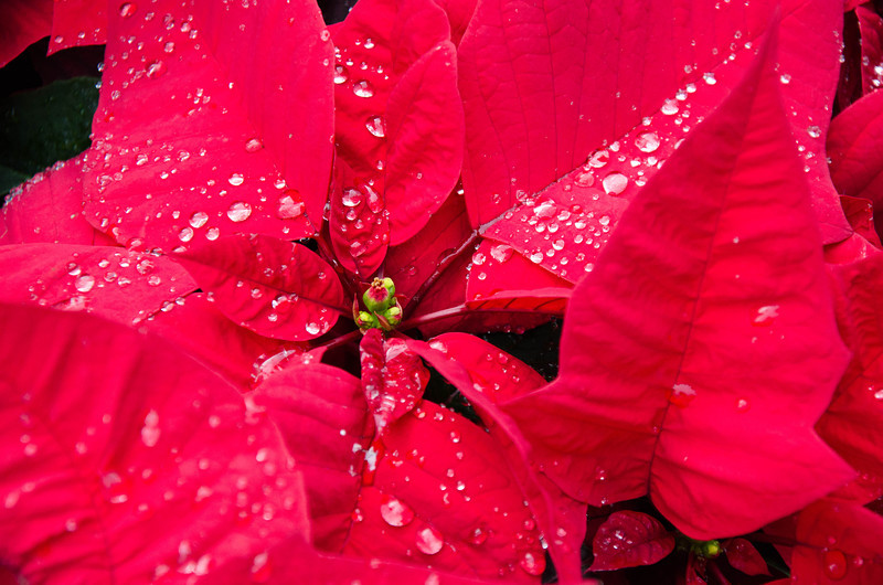 Ah, the lovely Christmas Poinsettia! BTW, that's real rain on the leaves!