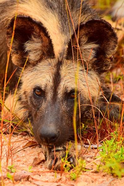 Wild Dog  brown.jpg