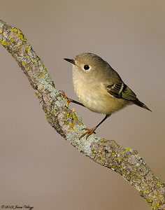 Ruby-crowned Kinglet, Regulus calendula