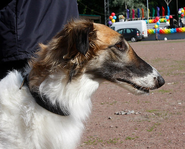 Saint Petersburg Borzoi