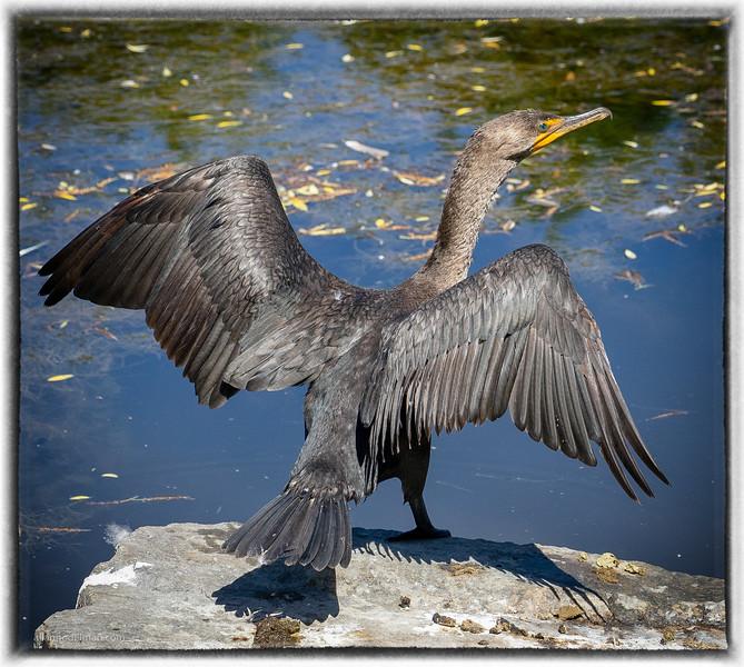 Cormorant at the Beaver Pond Kanata