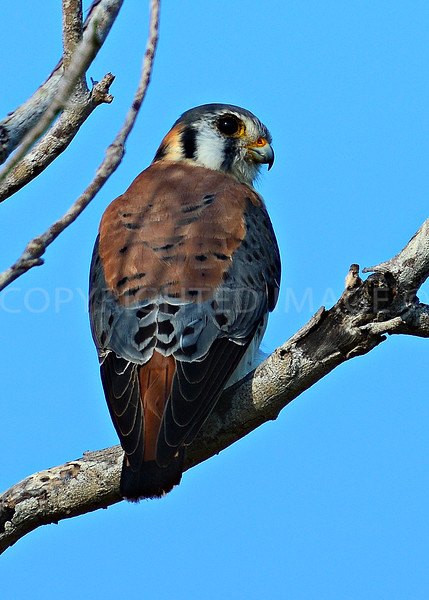 American Kestrel - Everglades National Park - March 2013
