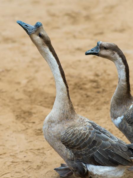 Close-up of two horned geese, Ban Gnoyhai, Luang Prabang, Laos