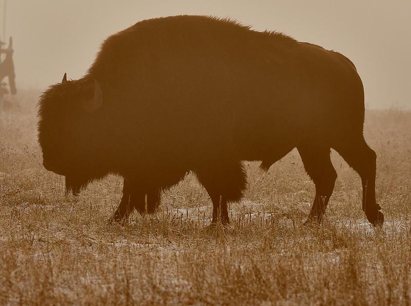 Bison - Misty dawn