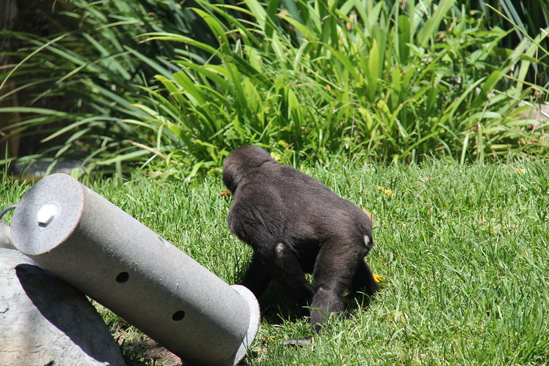 20170807-144 - San Diego Zoo - Gorilla.JPG