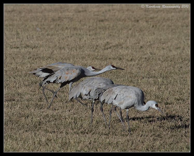 Sandhill Cranes ready to take off, Bosque Del Apache, Socorro, New Mexico, November 2010