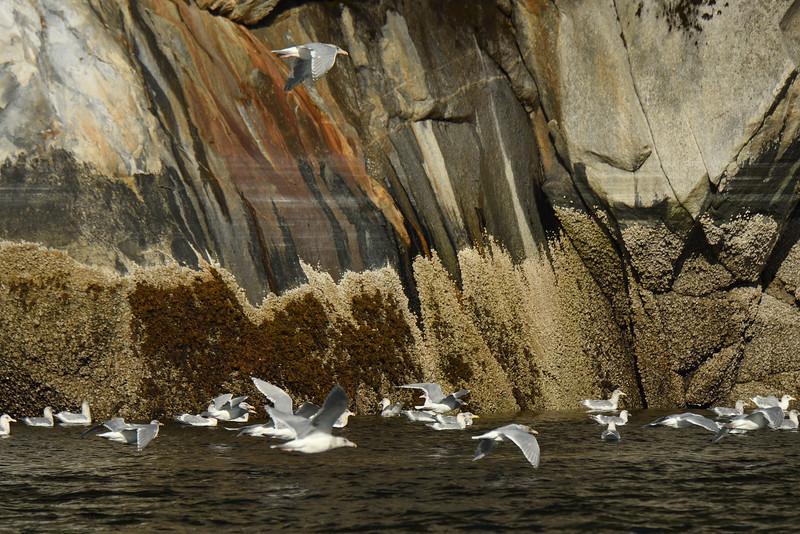 Gulls with Rocks II