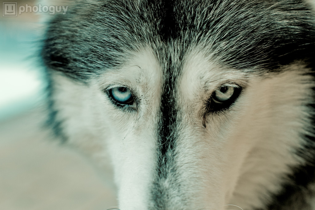 Siberian Husky Dog Eyes
