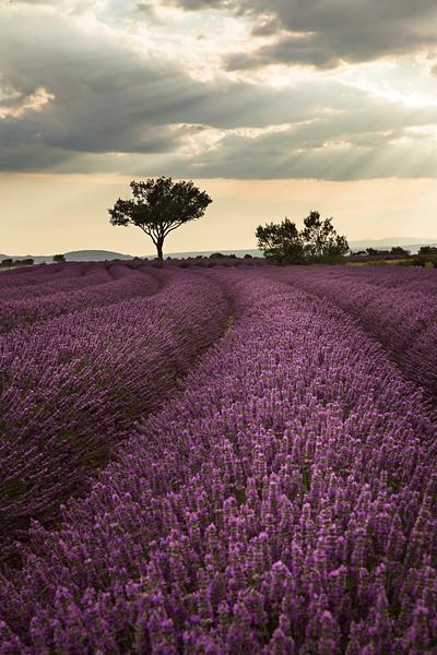 lavender curves 2.jpg