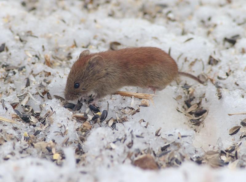 Red-backed Vole Clethrionomys gapperi Myodes gapperi Skogstjarna Carlton Co MN IMG_0034224.jpg