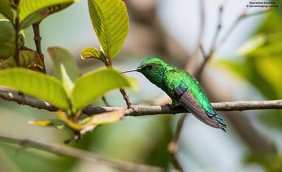 Hummingbirds Trochilidae