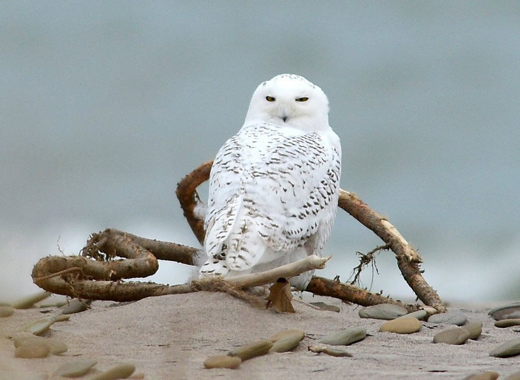 """. <p>9. SNOWY OWLS <p>Airport snipers issue first report: They DO taste just like chicken. (unranked) <p><b><a href=\'http://www.nydailynews.com/new-york/snowy-owls-added-port-authority-kill-list-article-1.1541823\' target=\""""_blank\""""> HUH?</a></b> <p>    (AP Photo/Erie Times-News, Christopher Millette)"""
