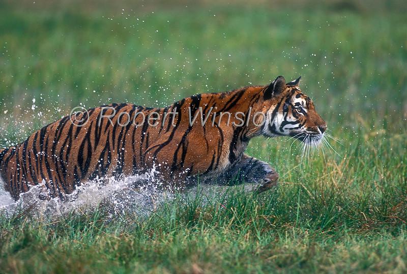 Tigers - Bengal Tigers